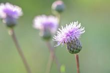 Carthamus Lanatus, Woolly Distaff Thistle, Downy Safflow Or Saffron Thistle, Pink, Macro