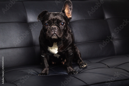 Keuken foto achterwand Franse bulldog french bulldog on black background