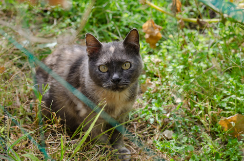 Photo A beautiful ashen cat with bright spots looks at the camera lens