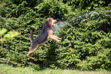 Welsh Terrier, Dog Jumping, Pl...