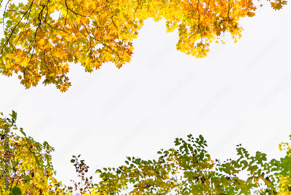 Fototapeta view of tree branch with yellow leaves autumn fall season