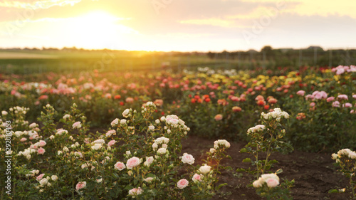 Poster Printemps Bushes with beautiful roses in blooming field