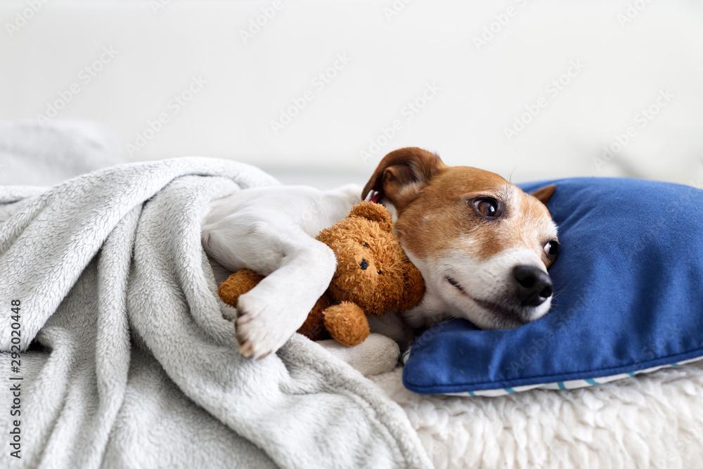 Fototapeta Sleeping jack russel terrier puppy dog with teddy bear toy