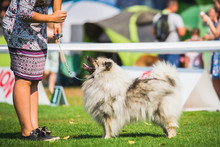 Beautiful Wolf Spitz Dog During A Dog Show On A Leash