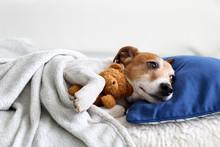 Sleeping Jack Russel Terrier P...