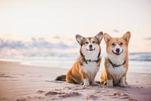 Two Welsh Corgi Pembroke Dogs ...
