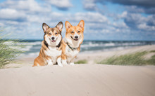 Two Welsh Corgi Pembroke Dogs Sitting Next To Each Other On The Beach At The Seaside, Very Happy During Vacations