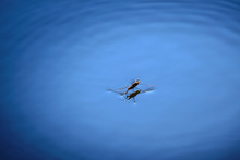 Water Strider Or Skater Standi...