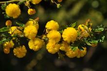 Acacia Pulchella, Also Know As Prickly Moses Wattle, An Endemic Flowering  Shrub In The Bushland Around Perth, Western Australia, Australia