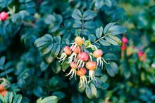 Orange Rosehip Bush Closeup Outdoors In Autumn