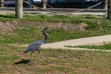 Great Blue Heron Marching Through Marina