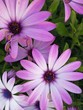 Leinwanddruck Bild - ARIMG0853_blossom, flower, purple, petal, Blurred leaves background