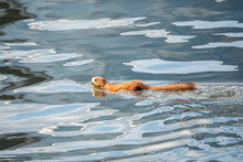 Unusual Squirrel Swims In The ...