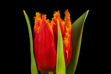 Single Orange Tulip Flower Iso...