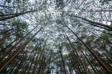 Pine Forest In Phu Hin Rong Kla National Park, Thailand.