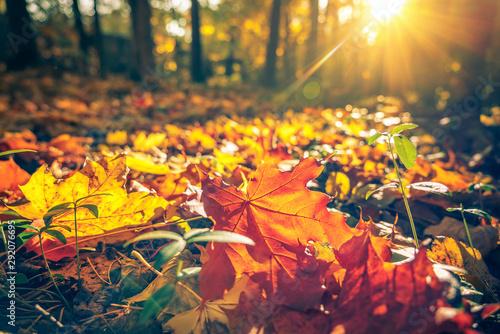 Fototapeta Close up of bright foliage in sunny autumn park obraz na płótnie