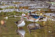 Wood Duck And Mandarin Duck