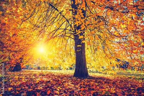 Canvastavla  Bright tree in the sunny autumn park