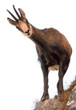 Beautiful Chamois Goat Looking...
