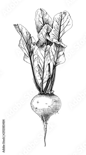 Fototapeta Hand drawn beetroot with leaves