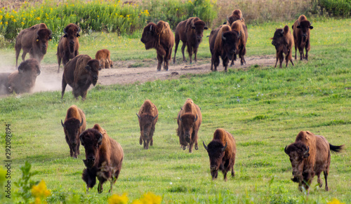 European bison herd and young calf (Bison bonasus) in the meadow.