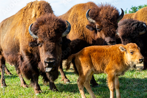 La pose en embrasure Bison European bison herd and young calf (Bison bonasus) in the meadow.