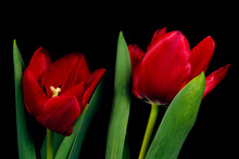Two Red Tulip Flowers On Black...