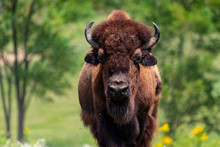 European Bison Herd And Young ...