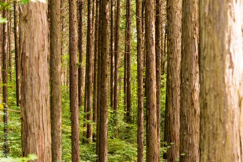 仙台市内にある森林公園の杉林