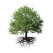 Leinwanddruck Bild - tree with roots, isolated on white background