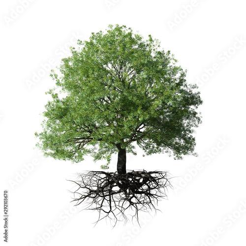 Fototapeta tree with roots, isolated on white background obraz
