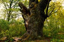 Uralte Eiche Vor Grüner Waldkulisse Im Spreewald