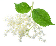 Elderberry Inflorescence On White Background.