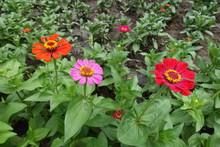 Three Flowers Of Zinnia - Red, Pink And Orange