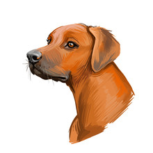 Rhodesian Ridgeback Dog Portrait Isolated On White. Digital Art Illustration Of Hand Drawn Dog For Web, T-shirt Print And Puppy Food Cover Design. African Lion Hound, Van Rooyen Lion Dog.