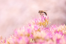 Bee On Pink Flowers At Bright Sunny Day, Close-up