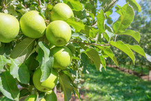 Green Ripe Apples in Orchard, Apple Trees