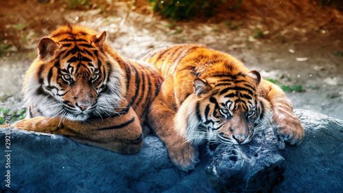 Photo  2 Tiger
