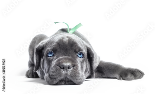 little puppy dog ​​of breed canecorso on a white background in isolation close up - 292139025