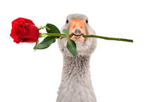 Portrait Of A Funny Goose With A Rose In Beak Isolated On White Background