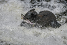 Alaska Black Bear With A Salmon In His Mouth In Rapids