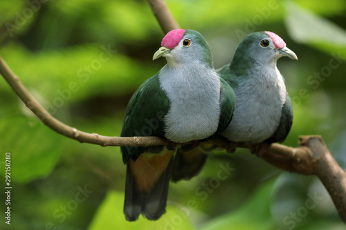 Couple of Beautiful fruit doves on tree branch