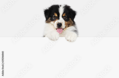 Fotografía funny pet puppy dog showing a placard isolated on white background blank templat