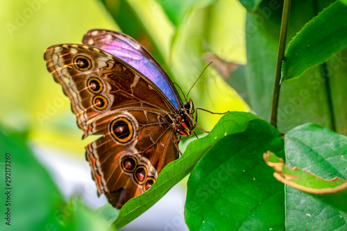 Fotografie, Obraz  Blue Morpho, Morpho peleides, big butterfly sitting on green leaves, beautiful i