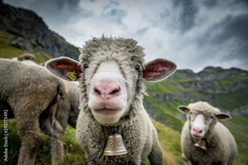 Spoed Fotobehang Schapen funny portrait of a sheep high above Oeschinensee near Kandersteg