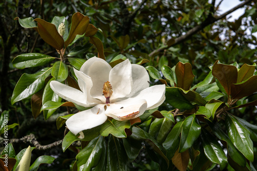 White Magnolia Blossom On Magnolia Tree Buy This Stock Photo And
