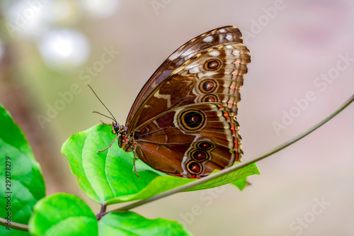 Photo sur Aluminium Papillon Blue Morpho, Morpho peleides, big butterfly sitting on green leaves, beautiful insect in the nature habitat
