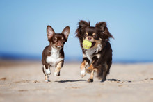 Two Chihuahua Dogs Happy Playing Together On The Beach