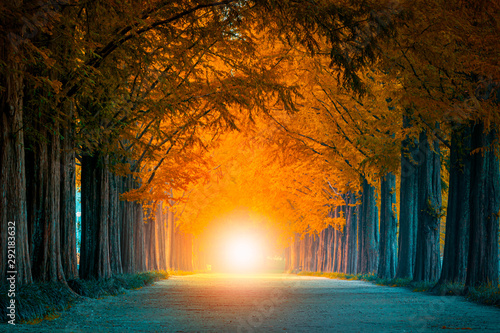 Obraz Light at the end of the tunnel of tree tunnel in autumn  and walkway in yellow tree tunnel  South Korea - fototapety do salonu