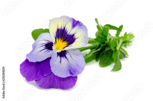Tuinposter Pansies Pansy Violet Flower Isolated on White Background